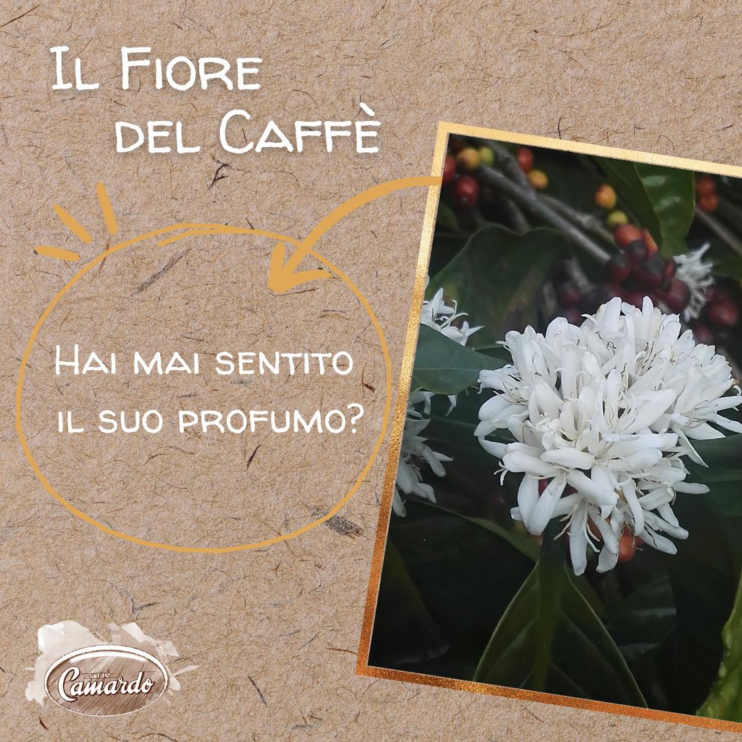il fiore del caffè